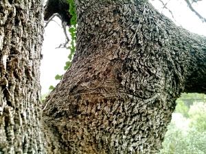 Acercaros al tronco de esta encina guardián y fijaros en una curiosa marca que tiene sobre su corteza, a menos de tres metros de altura. Una marca que nos recuerda la silueta de un hermoso dragón alado, para aquellos ojos que lo puedan... y quieran ver.