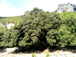 Encina Mallorca